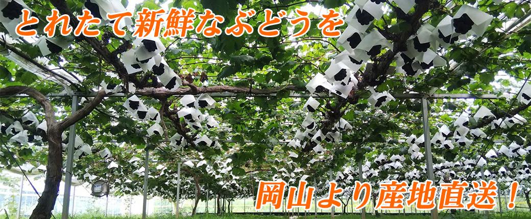 なかむらファーム ぶどう農園 とれたて新鮮なぶどうを岡山より産地直送!