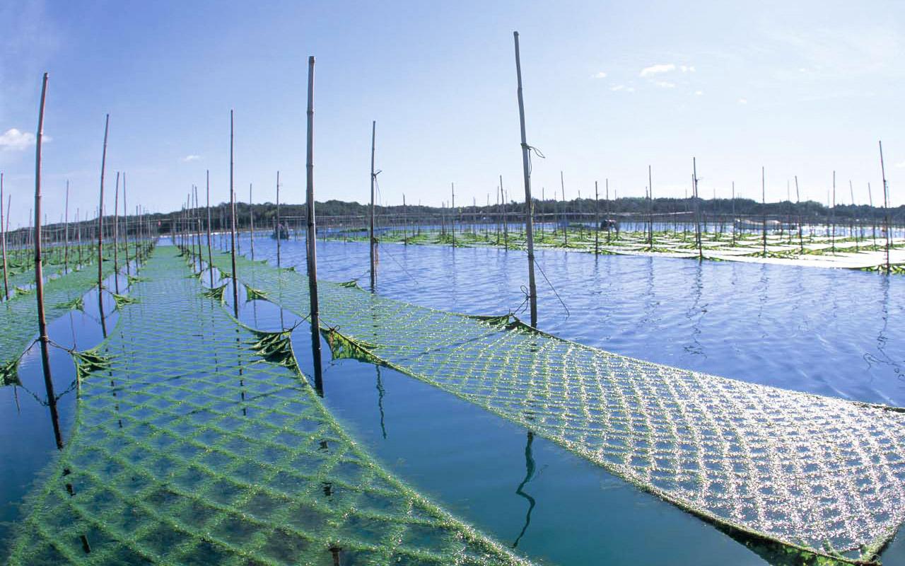 青さのり漁場風景