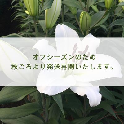 山本敬三農園 四万十ゆり(5本入り)