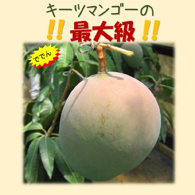 最大級キーツマンゴー1玉