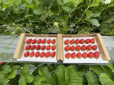 【どれが届くかな♪】朝採れ旬いちご 計600g(300g×2箱)