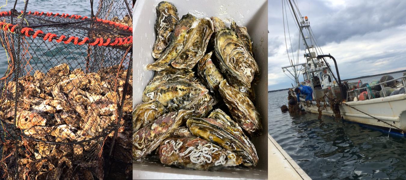 サロマ湖産牡蠣(漁の様子と2kg宅配便開封の状態)斉藤漁業(湧別町)