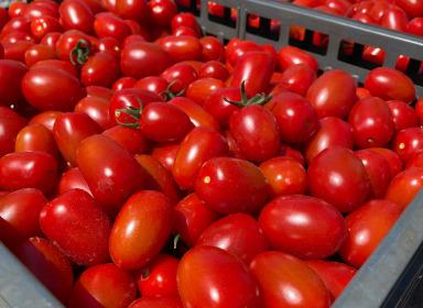 ミニトマト『きらら』【小沼農園】