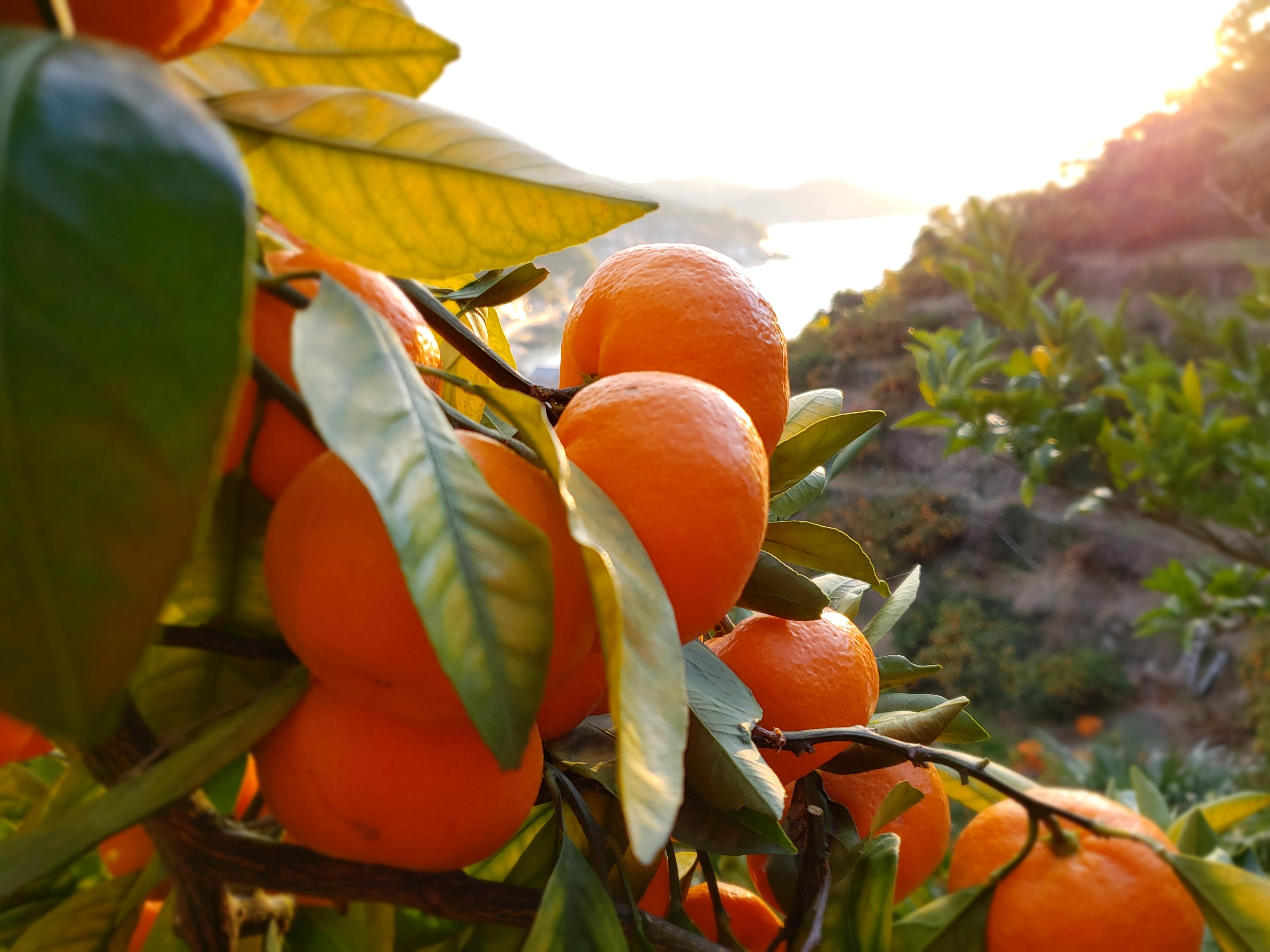 太陽の光をたっぷり浴びた 皮まで安全安心な果実