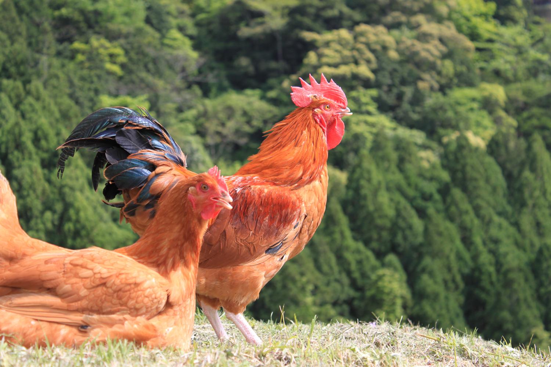 熊野地鶏(三重ブランド)