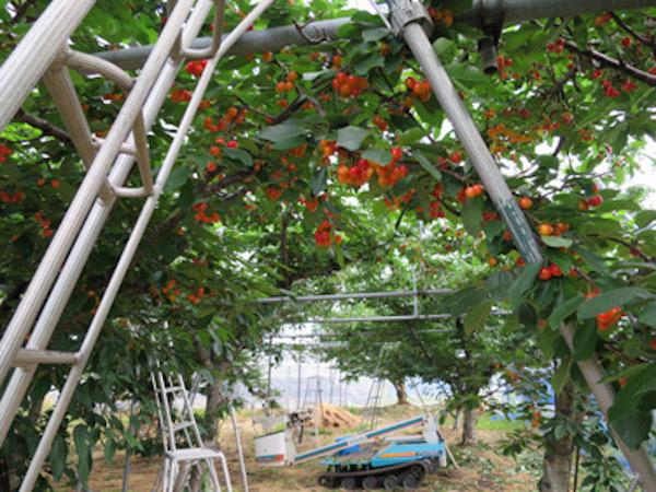さくらんぼ 栽培ハウス