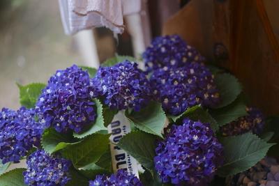 紫陽花 ネイビーブルー