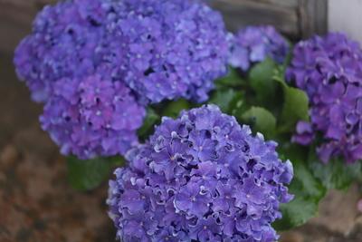 紫陽花 カーリースパークル