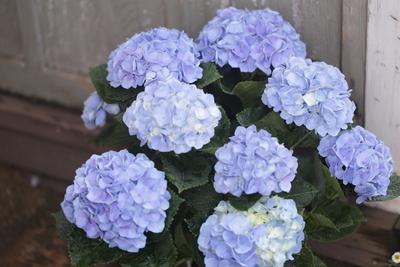 紫陽花 西安ブルー