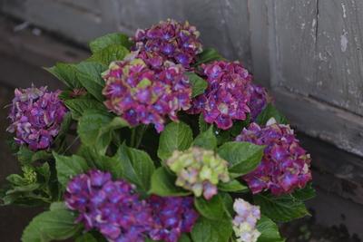 紫陽花 マクロフィラシリーズ