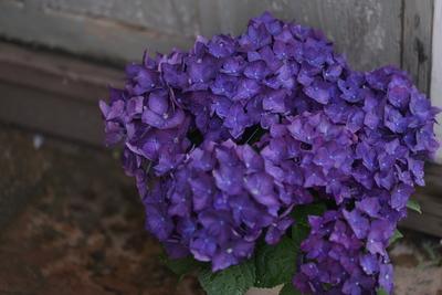 紫陽花 ディープパープル