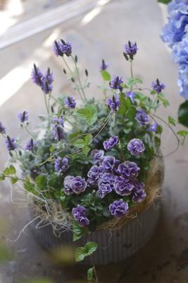 スモーキーな紫の寄せ植え