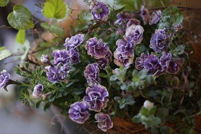 ペチュニア トパーズブルーの寄せ植え<1>