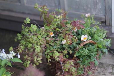 ヒメヅタと美しき葉々の寄せ植え