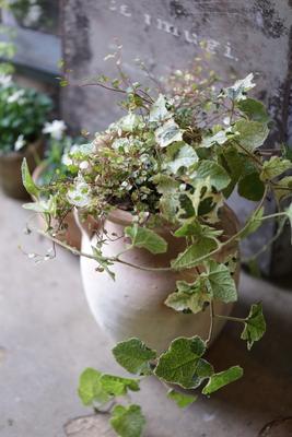冬苺の壺型寄せ植え
