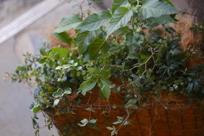 グリーンいっぱいの寄せ植え