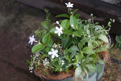 白とグリーンの爽やかな寄せ植え