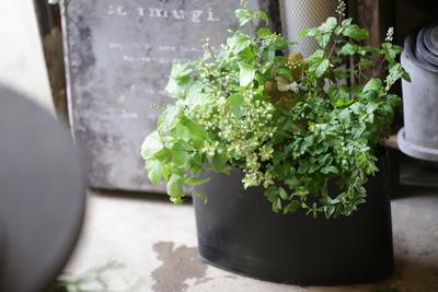ジュズサンゴとグリーンの寄せ植え