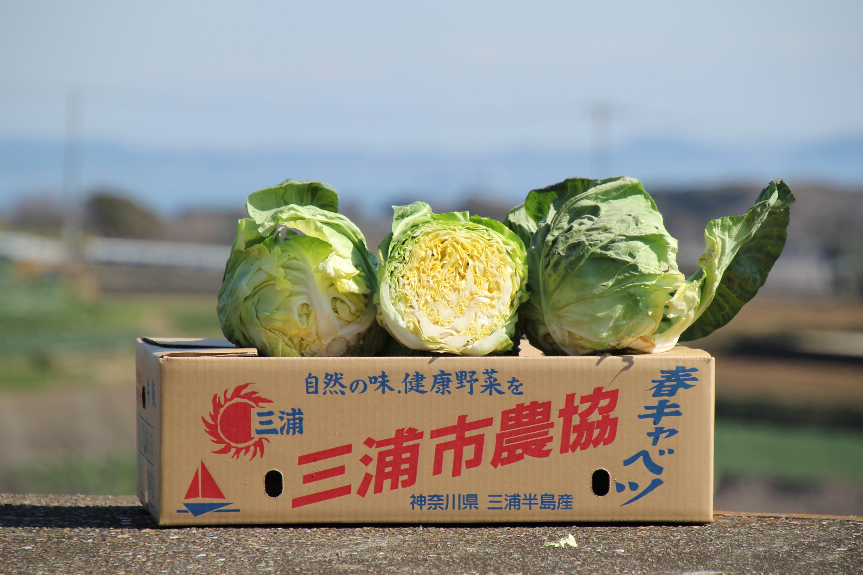 三浦市農協の春キャベツ(本春)