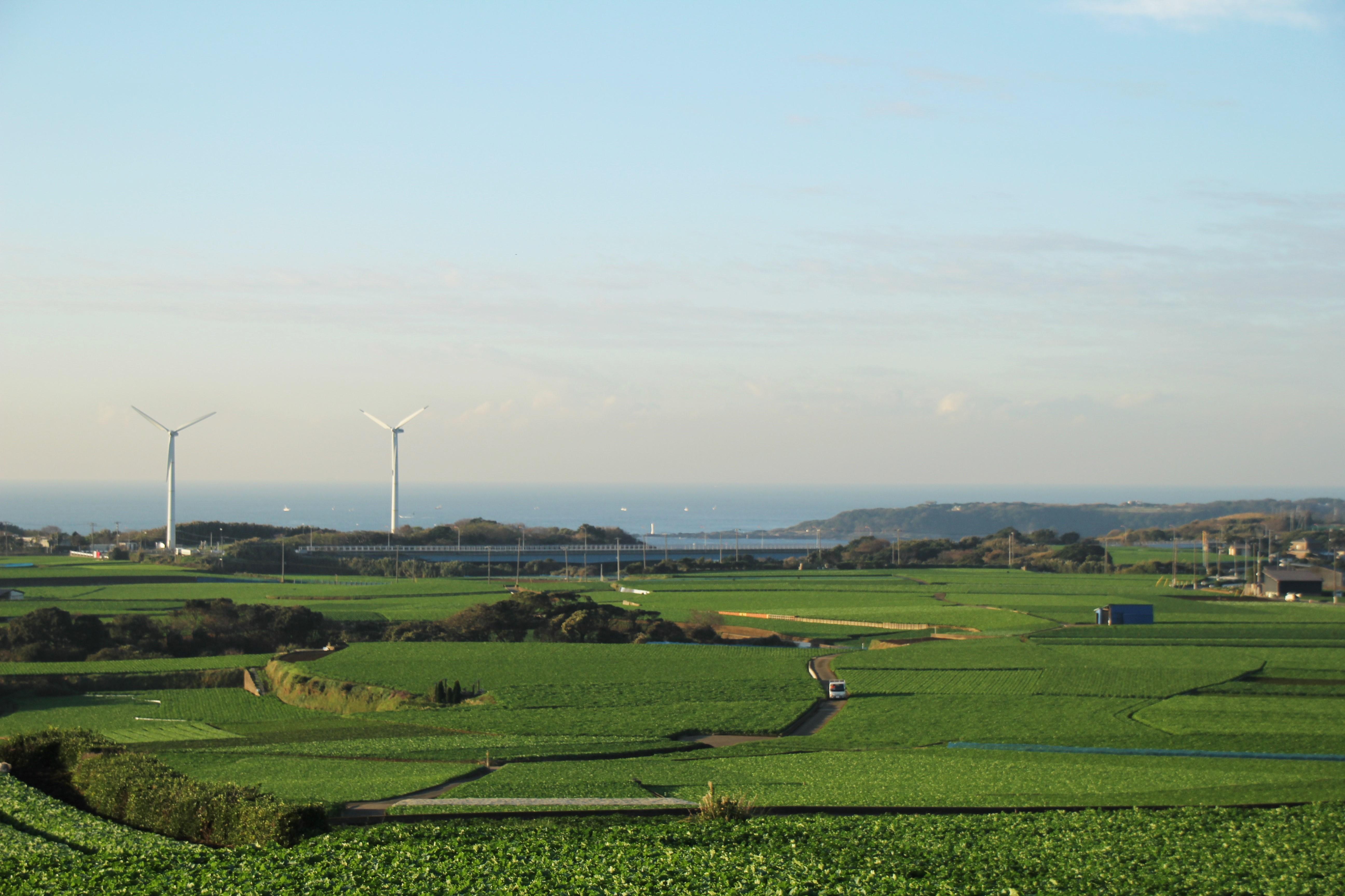 三浦の大根畑