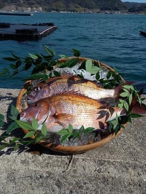 牧島育ち!養殖真鯛 約1.5㎏ × 2