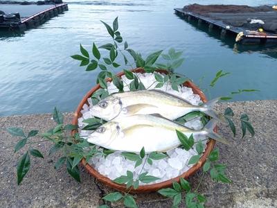 養殖ゆうこう(柑橘)シマアジ約2kg×2