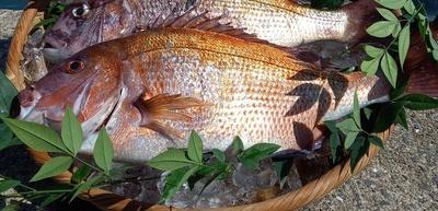 牧島育ち!養殖真鯛 約1.5kg
