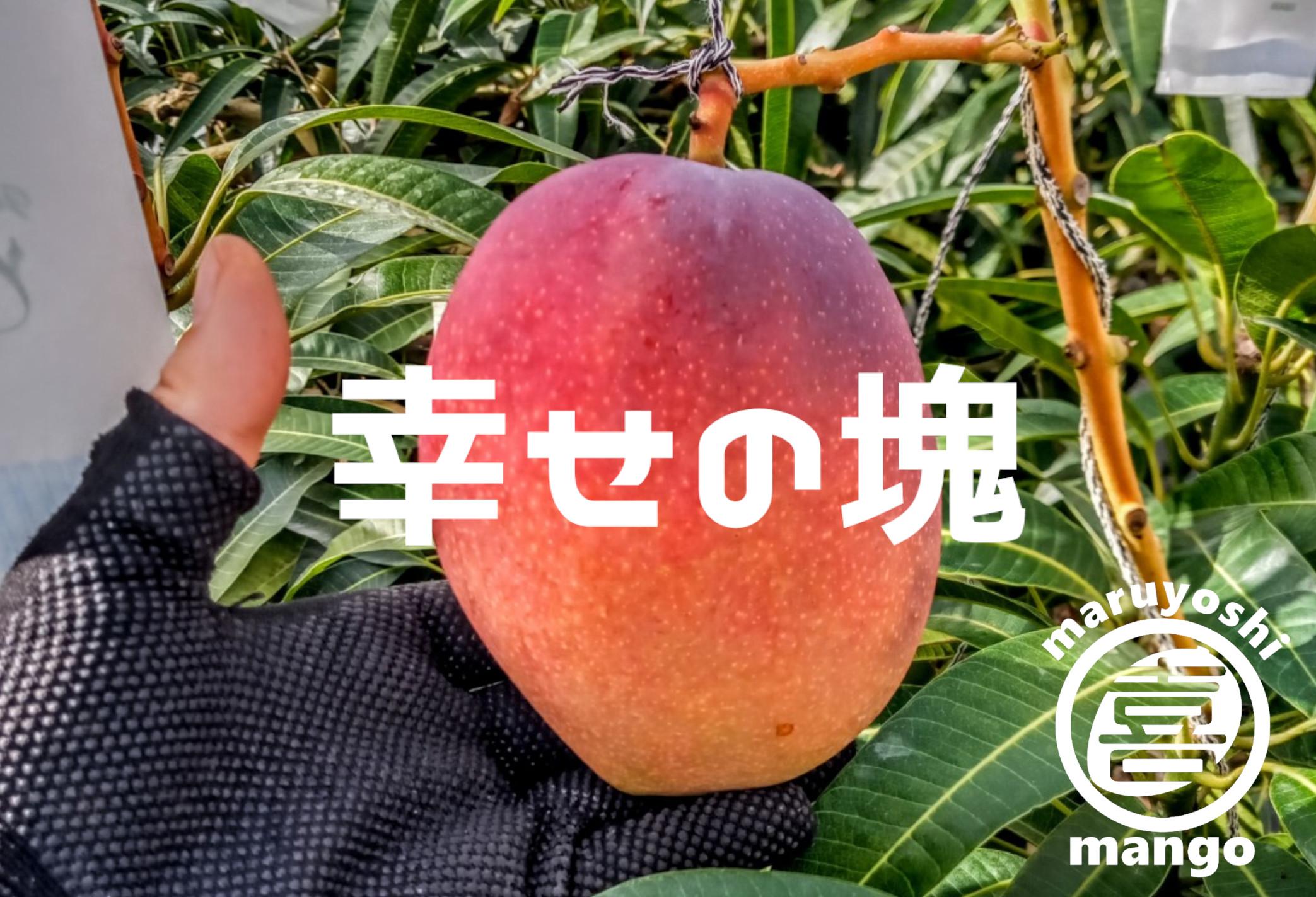【秀品】幸せの塊 マンゴー(アーウィン種) 1kg 2~3個
