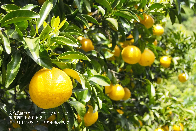 丸高農園のニューサマーオレンジ
