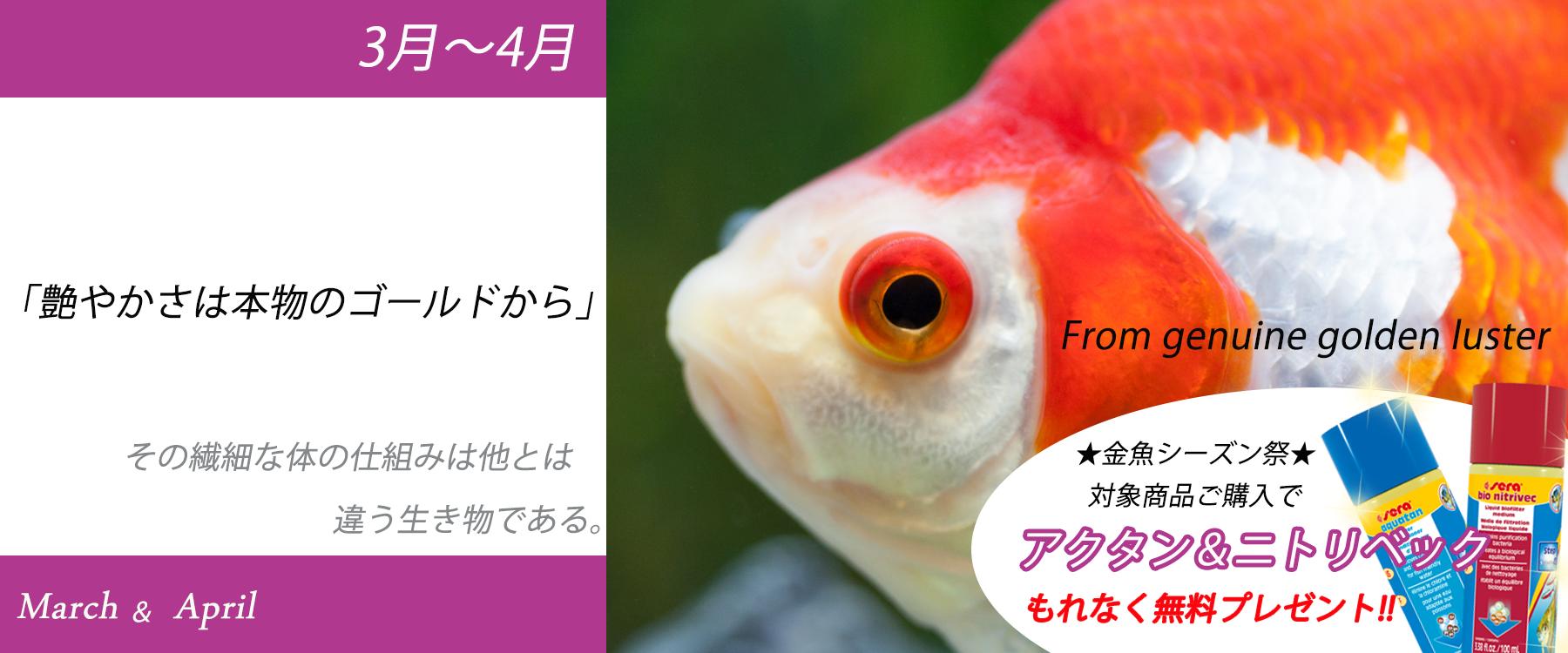 3月~4月金魚シーズン祭