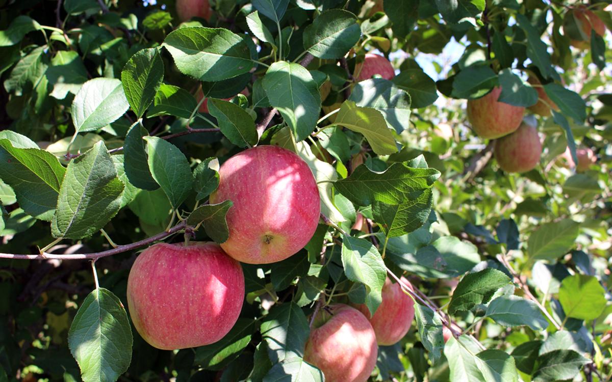 自慢のりんごもとても順調に育っています。