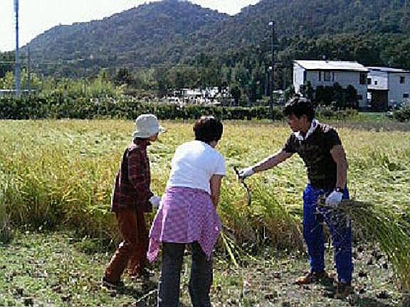 稲収穫のお手伝い