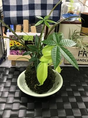 【Interior Plants】 苔玉寄せ植え B