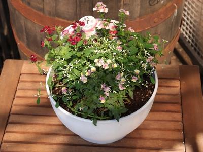 【1鉢限定 送料無料】ネメシア寄せ植え8号白鉢
