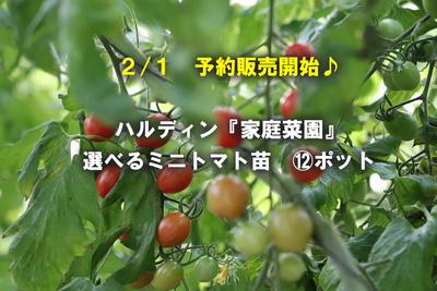 jardin『家庭菜園』選べるミニトマト苗9cm 12ポット