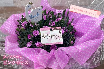 ※予約販売【 母の日ギフト】ダイアンサス『ピンクキッス』