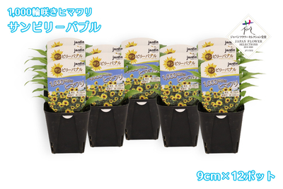 【予約販売】jardin『1,000輪咲きヒマワリ_サンビリーバブル』9cmポット苗    12ポット