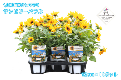 【予約販売】jardin『1,000輪咲きヒマワリ_サンビリーバブル』12cmポット苗    11ポット