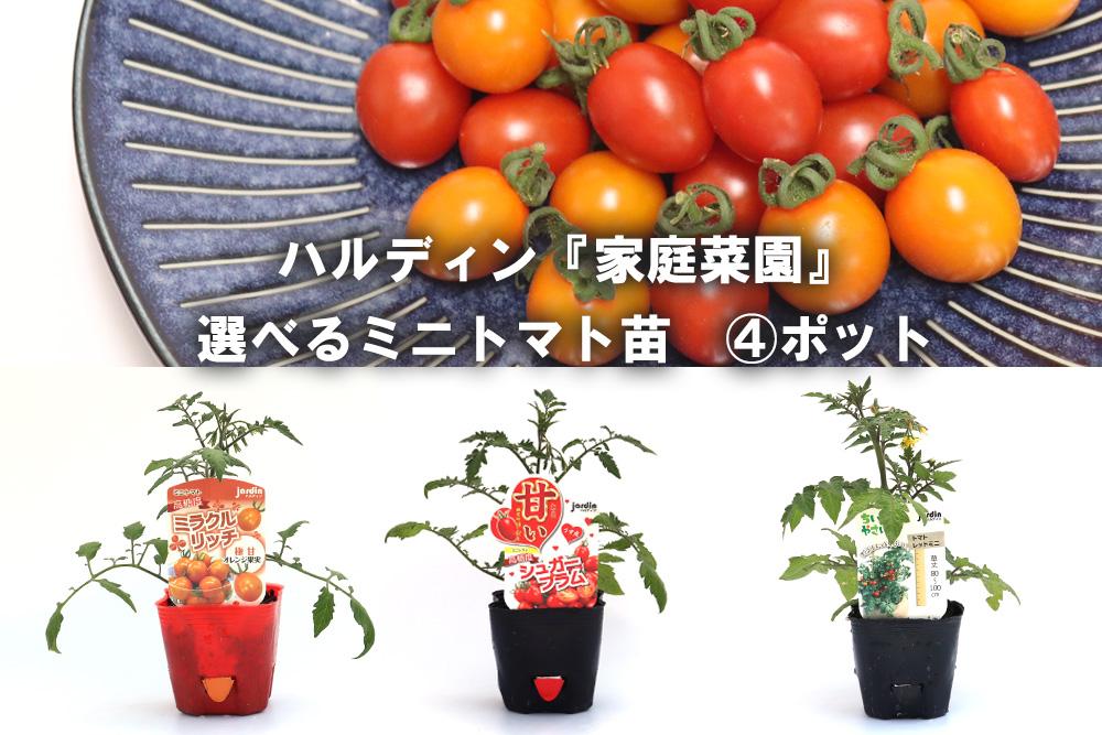 菜園 ミニ トマト 家庭 農家が教えるミニトマト栽培 最後まで鈴なりの実を付けさせる方法