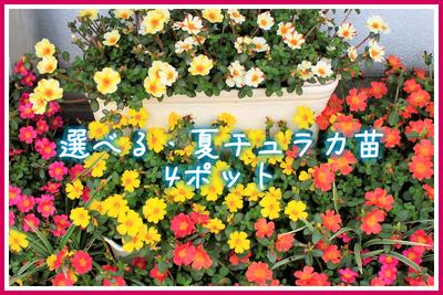 jardin 夏fes! 選べる夏チュラカ苗9cm 4ポット