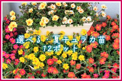 jardin 夏fes! 選べる夏チュラカ苗9cm 12ポット