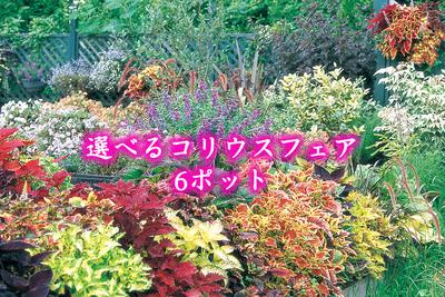 jardin 夏fes! 選べるコリウス苗9cm 6ポット