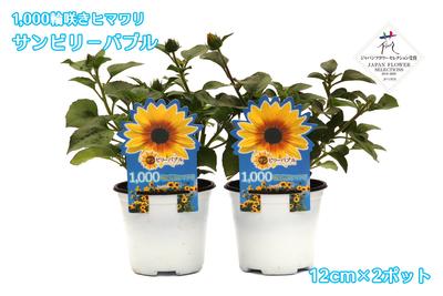 12cm苗×2ポット 1,000輪咲きひまわり サンビリーバブル ブラウンアイガール jardin
