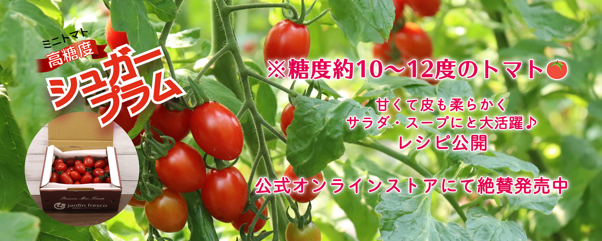 ハルディンフレスコの高糖度ミニトマト シュガープラム。 糖度10~12度と甘い完熟トマトのみ。