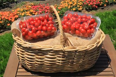 数量限定品 アウトレットシュガープラム1kg 糖度10度以上の高リコピン薄皮フルーツミニトマト