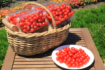 数量限定品 アウトレットシュガープラム4kg 糖度10度以上の高リコピン薄皮フルーツミニトマト