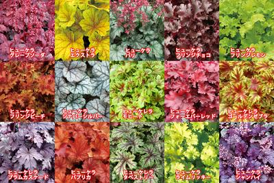 jardin ヒューケラ苗 9cm選べる20ポット+おすすめ4ポット計24ポット