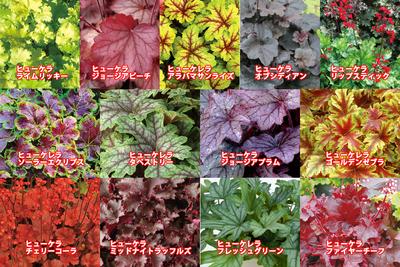 jardin ヒューケラ苗 9cm選べる4ポット