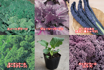 『家庭菜園』jardin厳選ケール苗10.5cm×6ポット