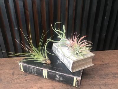 AIR PLANT おまかせ3品種SET